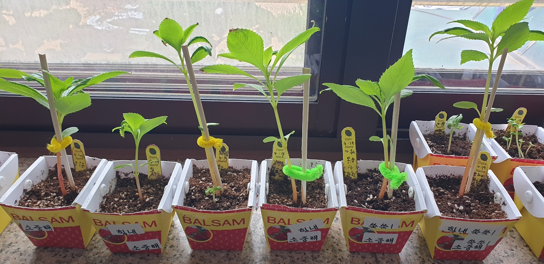 [일반] 1학년 생명존중교육(봉숭아 씨앗 심고 가꾸기) 4.19(월)~의 첨부이미지 4